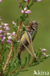 Heidesabelsprinkhaan (Metrioptera brachyptera)
