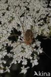 Rode hooiwagen (Opilio canestrinii)