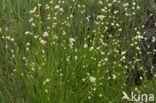 Witte snavelbies (Rhynchospora alba)