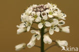 Zinkboerenkers (Thlaspi caerulescens)