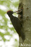 Zwarte Specht (Dryocopus martius)
