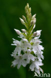 Bosorchis (Dactylorhiza fuchsii)