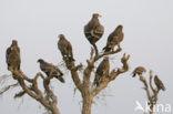 Steppearend (Aquila nipalensis)