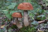 Rosse populierboleet (Leccinum rufum)