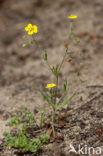 Gevlekt zonneroosje (Tuberaria guttata)