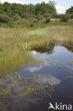 Drijvende egelskop (Sparganium angustifolium)