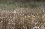 Hazenstaart (Lagurus ovatus)