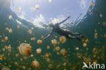 Endemic Mastigias Jellyfish