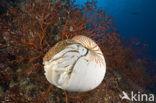 Nautilus schelp (Nautilus pompilius)