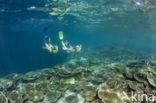 Tafelkoraal (Acropora spec)