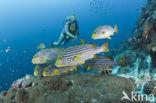 Oosterse diklipvis (Plectorhinchus vittatus)
