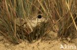 Knoflookpad (Pelobates fuscus)