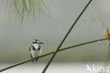 Bonte IJsvogel (Ceryle rudis)