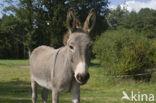 Ezel (Equus asinus)