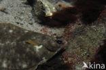 Bot (Platichthys flesus)