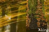 Geelbruine plaatjeshoutzwam (Gloeophyllum sepiarium)