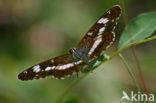 Grote ijsvogelvlinder (Limenitis populi)