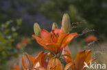 Lelie Prinses Grazia (Lilium spec.)
