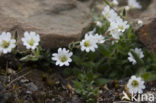 Noordse hoornbloem (Cerastium arcticum)
