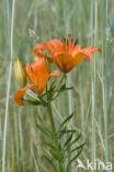 Roggelelie (Lilium bulbiferum subsp.croceum)