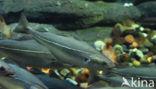 Zwarte Koolvis (Pollachius virens)