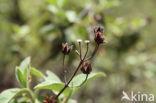 Amagante (Cistus simphytifolius)