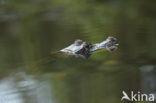 Brilkaaiman (Caiman crocodilus)