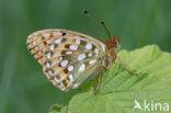 Grote parelmoervlinder (Argynnis aglaja)