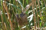 Koekoek (Cuculus canorus)