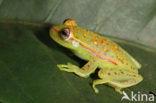 Polkadot Treefrog (Hyla punctata)