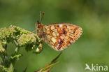 Purperstreepparelmoervlinder (Brenthis ino)