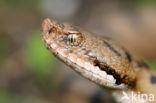 Aspisadder (Vipera aspis)