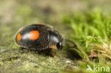 Behaard lieveheersbeestje (Platynaspis luteorubra)
