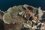 Geel Slakoraal (Turbinaria mesenterina)