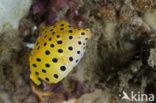 Geelbruine Koffervis (Ostracion cubicus)