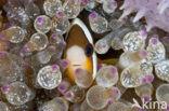Geelstaart anemoonvis (Amphiprion clarkii)
