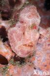 Gevlekte Hengelaarsvis (Antennarius pictus)