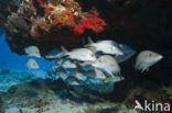 Grijze zeebaars (Lutjanus griseus)