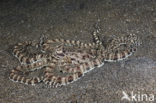 Indonesian Mimic Octopus (Thaumoctopus mimicus)