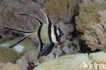 Juweel Kardinaalbaars (Pterapogon kauderni)
