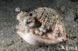 Kokosnoot-octopus (Octopus marginatus)