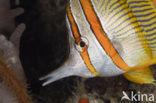 Pincetvis (Chelmon rostratus)