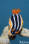 Pyjama Nudibranch (Chromodoris magnifa)