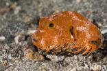 Reuzenkogelvis (Arothron stellatus)