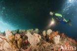Rood Zacht koraal (Dendronephthya mucronata)
