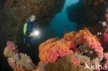 Roosjeskoraal (Tubastrea faulkneri)