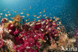 Twinspot cardinalfish (Archamia biguttata)