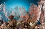 Waaierkoraal (Melithaea spec)