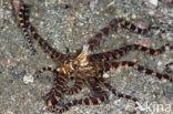 Wunderpus octopus (Wunderpus photogenicus)