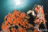 Zacht koraal (Dendronephthya spec.)
